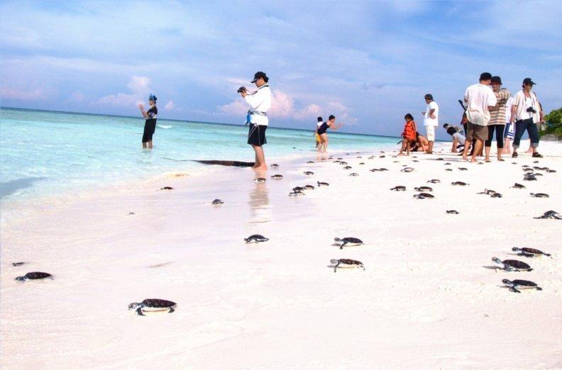 Jw marriott phuket resort spa joins with mai khao marine turtle
