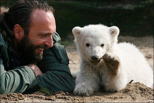 Star German polar bear Knut