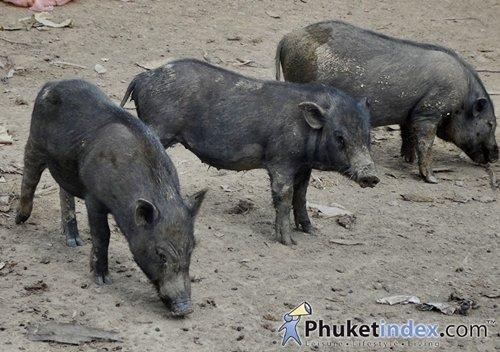 Wild boars in Phuket