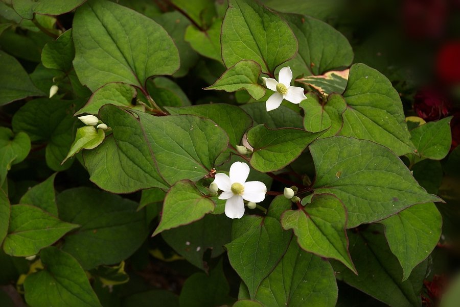 Researchers discover Houttuynia Cordata has medicinal chemicals
