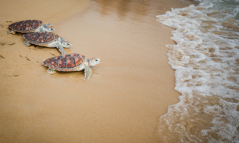 The 10th Mai Khao Marine Turtles Release Ceremony 2019