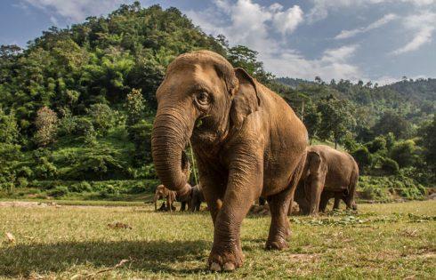Potential Catastrophe Facing Thailand's Elephant Camps