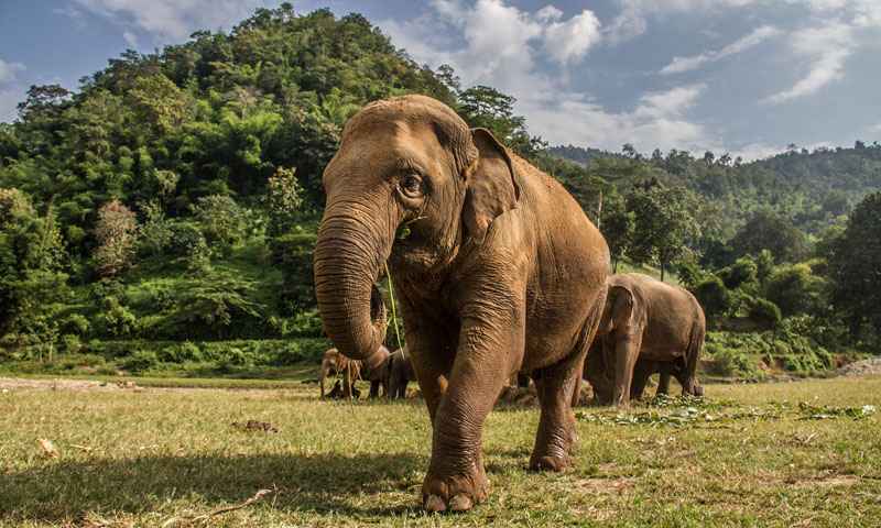 Potential Catastrophe Facing Thailand's Elephant Camps